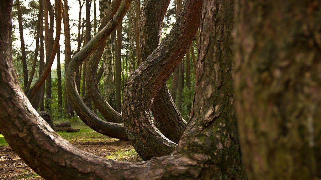 Anomalie i osobliwości - krzywy las