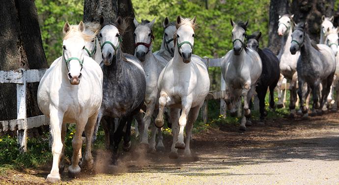 Słowenia - konie w Lipicy